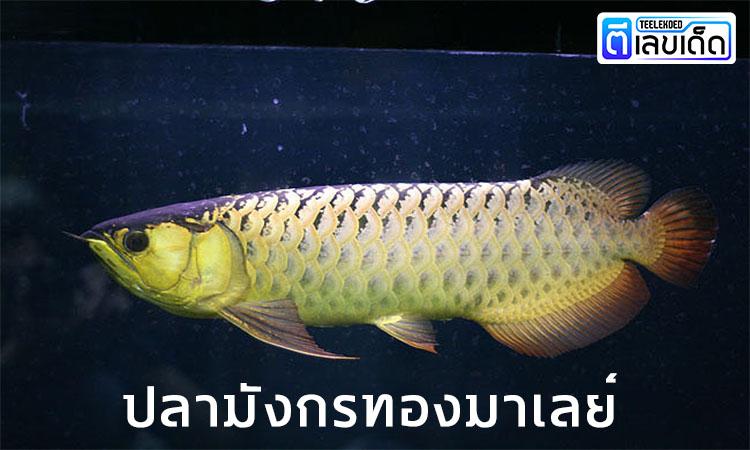 5 ปลามงคล เสริมโชคลาภ 2