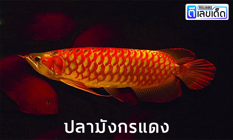 5 ปลามงคล เสริมโชคลาภ