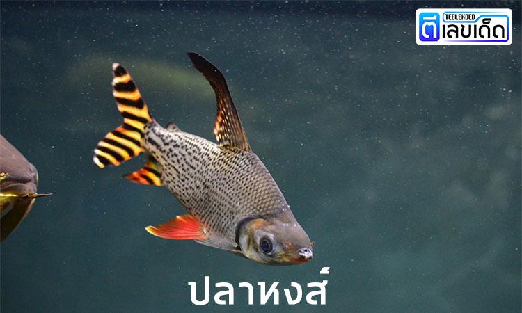 5 ปลามงคล เสริมโชคลาภ 3