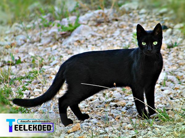 ฝันว่าเห็นแมวสีดำ เลขนำโชคดีแม่นๆคืออะไร?